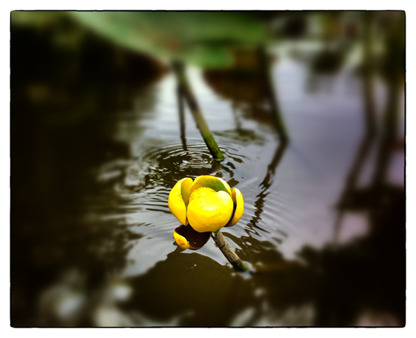 Water Lily Photo by Jay Bryant
